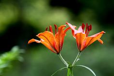 Morning star lily by LEE INHWAN on 500px