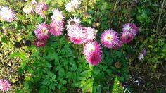 Récolter ses graines de fleurs, pouvoir de germination.. Etc..
