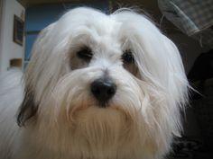 http://images1.fanpop.com/images/image_uploads/Coton-de-Tulear-dogs-1128162_1920_1440.jpg