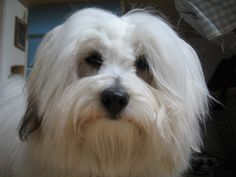 Ahead of you adopt a Coton de Tulear puppy, ask oneself in case you are accessible to stroll your dog numerous occasions all through the day, and should you possess the patience and commitment to wake up and take him out very first issue each morning at the exact same time, and stick to a strict schedule.