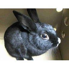 Shorthaired Rabbit | RAJ | Pets.Overstock.com