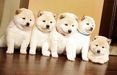 いいね!2,146件、コメント27件 ― The Daily Shiba Inu © さん(@thedailyshibainu)のInstagramアカウント: 「Cream Shiba puppy club!! #thedailyshibainu #柴犬 #日本犬 #柴犬マニア #shiba #shibainu #photooftheday #dog…」