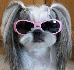 What cute piggy tails this Shih Tzu glam girl has!                                                                                                                                                                                 More