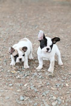 I have such a soft spot for English bulldog puppies, but that French bulldog is doing his best to win out.