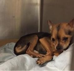 SUPER URGENT-  **POSSIBLY BLIND** ABANDONED JOHN – A1090677  NEUTERED MALE, TAN / BLACK, CHIHUAHUA SH MIX, 12 yrs  ABANDON