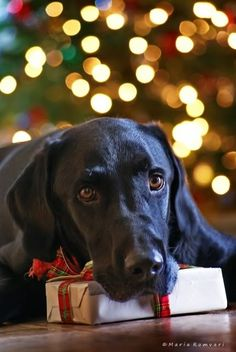 Can I open it yet? Our dog Sammy use to open all of our Christmas presents, it was so funny to watch!