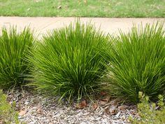 Low Water Landscaping, Garden Landscaping, Lomandra, Australian Plants, Backyard Garden Design, Ornamental Grasses, Drought Tolerant, Green Grass, Hedges