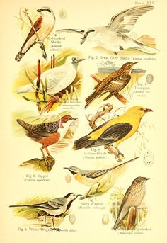Red-backed Shrike, Great Grey Shrike, Naked-throated Bell-bird, Tree-pipit, Golden Oriole, Dipper, Grey Wagtail, White Wagtail, Spotted Flycatcher      ...