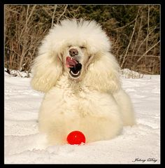 Holly, the gorgeous white standard Poodle