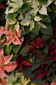 2012 Holiday Poinsettia Show & Train Garden by BCRP, via Flickr