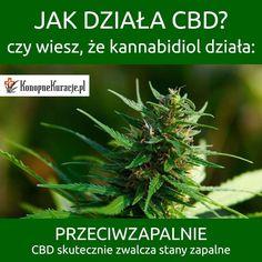 Jak działa #CBD ? Czy wiesz, że kannabidol działa: przeciwzapalnie.  CBD skutecznie zwalcza stany zapalne.  #cbd #olejkicbd #olejekcbd #olejcbd #konopnekuracje #konsultacje #zdrowie #warszawa #polska #alzheimer #alzheimers
