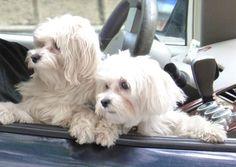 Cute white doggies.