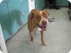 Long Beach, CA - Pit Bull Terrier. Meet BOO, a dog for adoption. http://www.adoptapet.com/pet/13298360-long-beach-california-pit-bull-terrier