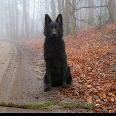 Black wolf/dog
