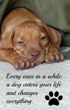 #puppylove Vizsla puppy