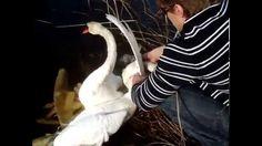 Short Version Watch People Rescue Entangled Swans Спасение Лебедей. Gulb...