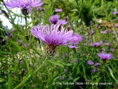 Knapweed - Plant Categories - The Tortoise table