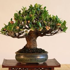 Cuban Laurel Fig (Ficus microcarpa kinmen) by Rob Kempinski. It's showing lots of figs in colors from dark purple to green to yellow to pink. The tree is about 11'' / 25 cm tall. #bonsai #ficus #ficusbonsai #fig #figtree #indoorbonsai