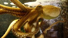 Octopus could hold key to high-tech camouflage