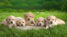 Animal Grass Dogs Puppies 1080p HD Wallpaper for Desktop