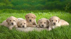 Animal Grass Dogs Puppies 1080p HD Wallpaper for Desktop