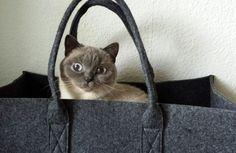 Taschen-Katze, Britisch Kurzhaar, BKH