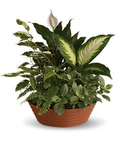 MOTHER'S or FATHER'S DAY Serene Retreat Plants, Serene Retreat Plant Basket - Teleflora.com