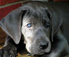 blue great dane..i want one/ Love those eyes!