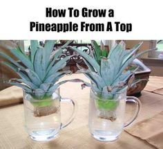 How To Grow A Pineapple From A Top. I Have Grown Pine Apple Plants before but I always Put mine in a Small Pot with Just a Little Dirt just to cover what Little Bit of Top of the Actually Pine Apple. I will be trying this by  Sitting the Pine Apple in a Glass.
