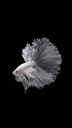 The iPhone X/Xs Wallpaper Thread - Page 66 Pretty Fish, Beautiful Fish, Colorful Fish, Tropical Fish, Betta Fish Types, Fish Wallpaper, Beta Fish, Siamese Fighting Fish, Ocean Creatures