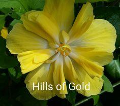 Hills of Gold Hibiscus
