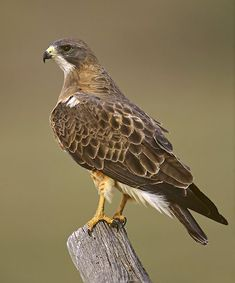 Between 1995 and 1997, Kochert and his colleagues were able to tag 46 Swainson's hawks across their huge breeding range, from California to Minnesota to Alberta. Description from movebank.org. I searched for this on bing.com/images