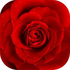 How to Make Rose Petal Beads. Rose petal beads are a delightful way to exude the scent of roses wherever you wear them. By turning the beads into a necklace, the warmth of your skin will bring out the rose scent as you wear it. Rose Petal Beads, Rose Petals, Red Rose Flower, Red Flowers, Winter Flowers, Exotic Flowers, Spring Flowers, Ronsard Rose