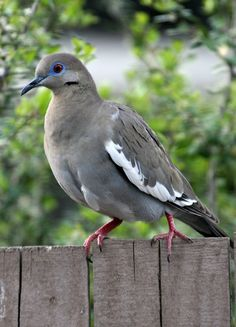 White-winged Dove, condolences to the sweet one trapped in a dome enclosure until the Lord took him to Dovey heaven in the sky!