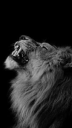 Lion Looking Up Mobile Wallpaper - Tiertapete iphone Tier Wallpaper, Dark Wallpaper, Mobile Wallpaper, Black And White Wallpaper Iphone, Black And White Lion, Animals Black And White, Snow White, Amoled Wallpapers, Hd Phone Wallpapers