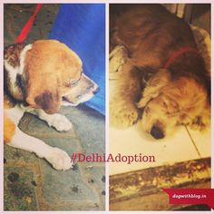 Beagle and American cocker spaniel urgently need foster homes - #Delhi #Noida #Gurgaon The beagle is Lisa. She was given away by her owner to his elderly servant who obviously can't care for her in her jhuggi. Lisa is a very friendly loving girl middle aged maybe 5-6 years old. She's got slight dermatitis in one of her hind legs but otherwise she seems fine. She does need a foster/forever home very urgently.  The American cocker is very young less than a year old. He was abandoned because he…