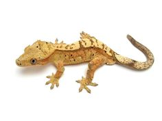 Tri-Colored Crested Gecko.