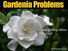 Gardenia pests and problems homeowners may experience and solutions. Some of them include bud drop, yellowing of leaves, sooty mold. [LEARN MORE] Gardenia Care, Gardenia Bush, White Gardenia, Gardenias, Florida Plants, Florida Gardening, Trees To Plant, Plant Leaves, Tropical