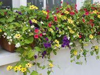 Trailing plants, such as petunias, Thunbergia and Jamesbrittenia reflect the blooming abundance of summer in a large, deep window box.