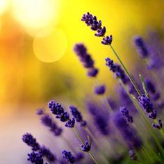 lavanda #Lavanda #Lavender