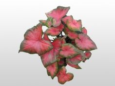 Houseplants With Beautiful Leaves Caladiums Are Grown For Their Large Colorful Heart Shaped