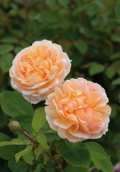 Rosa The Lady Gardener ('Ausbrass'), David Austin Roses