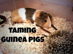 ▶ how to tame a extremely scared/skittish guinea pig(request) - YouTube