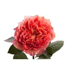 free spirit pinky peach garden rose my favorite