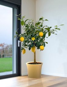 Indoor Lemon Tree... Last year at our farmers market they sold fruit cocktail trees similar to this one! I will be getting several this year!