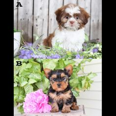 💭 We Want To Know What You Think! 🧠 🎟️ ↓ Cast your #Vote folks ↓ 🎫 Which #Puppy would you want #PuppyKisses from after a day at work? A. Shih Tzu B. Yorkshire Terrier You can vote by commenting below ▬▬▬▬▬▬▬▬▬▬▬▬▬▬▬▬▬▬▬ #WhatDoYouThinkWednesday #WednesdayWisdom #Wednesday #ShihTzu #YorkshireTerrier #Yorkie #Ivoted #LancasterPuppies www.LancasterPuppies.com Shih Tzu For Sale, Yorkie Puppy For Sale, Shih Tzu Puppy, Puppies For Sale, Small Dog Breeds, Small Dogs, Lancaster Puppies, Yorkshire Terrier Puppies, Wednesday