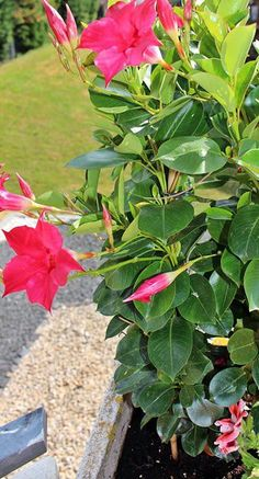 Dipladenia pflegen: Das müssen Sie beachten - Gardening Tips & IdeasThe Dipladenia requires little care when nurturing. If you over the plant … - Lands Cape GardeningMaintain Dipladenia: You have to pay attention Garden Types, Succulents In Containers, Planting Succulents, Container Flowers, Container Plants, Planting Flowers, Container Gardening, Gardening Tips, Vegetable Gardening
