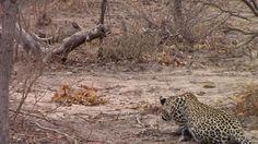 Leopard hunting a Grey duiker