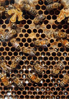 honeybees, honeycomb, brood, nectar, honey