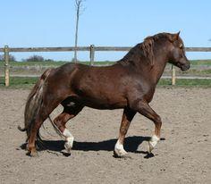 New Forest Pony stallion Stegstedgårds Thor